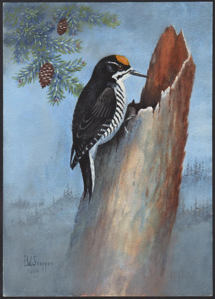 Steffen Watercolor of Black-Backed Arctic Three-Toed Woodpecker