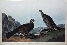 Audubon Aquatint Engraving, Long-tailed or Dusky Grous