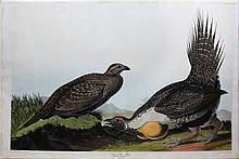 Audubon Aquatint Engraving, Cock of the Plains