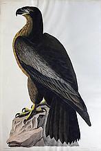 Audubon Aquatint Engraving, Bird of Washington