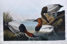 Audubon Aquatint Engraving, Canvas-Backed Duck
