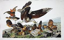 Audubon Aquatint Engraving, Virginia Partridge