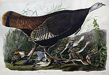 Audubon Aquatint Engraving, Wild Turkey (Female)