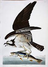 Audubon Aquatint Engraving, Fish Hawk or Osprey