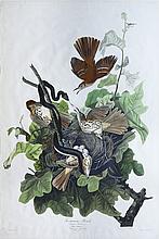 Audubon Aquatint Engraving, Ferruginous Thrush