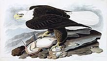 Audubon Aquatint Engraving, White-Headed Eagle
