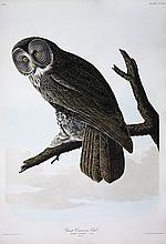 Audubon Aquatint Engraving, Great Cinereous Owl