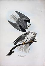 Audubon Aquatint Engraving, Black-Winged Hawk