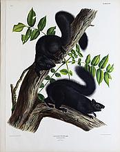 Audubon Lithograph, Black Squirrel