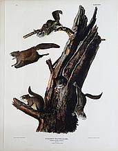 Audubon Lithograph, Common Flying Squirrel