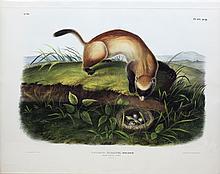Audubon Lithograph, Black-Footed Ferret