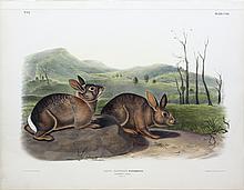 Audubon Lithograph, Bachman's Hare