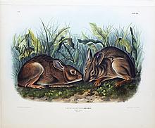 Audubon Lithograph, Marsh Hare