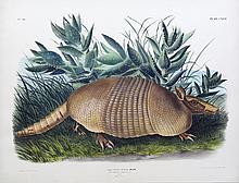 Audubon Lithograph, Nine-Banded Armadillo
