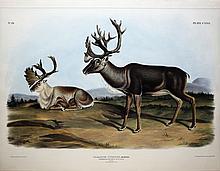 Audubon Lithograph, Caribou or American Rein-deer