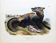 Audubon Lithograph, American Cross Fox