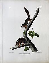 Audubon Lithograph, Richardson's Columbian Squirrel