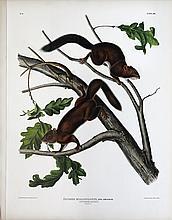 Audubon Lithograph, Soft-Haired Squirrel