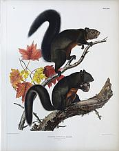 Audubon Lithograph, Long-Haired Squirrel