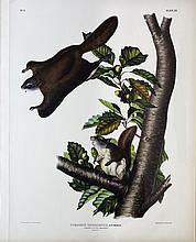 Audubon Lithograph, Oregon Flying Squirrel