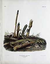 Audubon Lithograph, Harvest Mouse