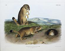 Audubon Lithograph, Prairie Dog