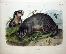 Audubon Lithograph, Hoary Marmot-The Whistler