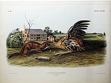Audubon Lithograph, Tawny Weasel