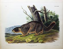 Audubon Lithograph, Yellow-Bellied Marmot