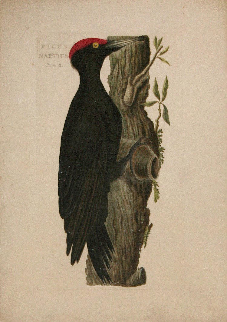Cornelius Nozeman. Picus Martius Mas & Ardea, Nycticorax (2)