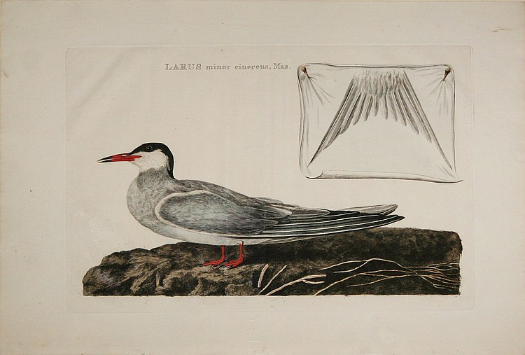 Cornelius Nozeman. Larus minor cinereus, Mas. & Recurvirostra (2)