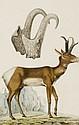 Antoine Charles Vauthier Paris, 1790 - (?), après 1831 Etude de Tronghorn ou Antilope d'Amérique Aquarelle gouachée sur trait de cra..