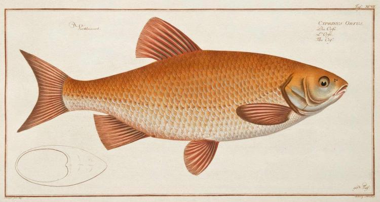 [PECHE et ICHTYOLOGIE ] BLOCH, Marcus Elieser  Oeconomische Naturgeschichte der Fische Deutschlands