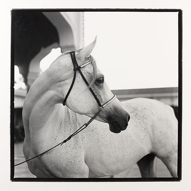 Wouter DERUYTTER (Né en 1967) The Personal Arabian Horse of H.R.H. King Hassan II, The Royal Palace Bouznika, 1996 Tirage argentique...