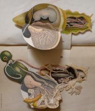 Rare Anatomy SNAIL - J. ANGLAS Multi-layered, Paris 1900's