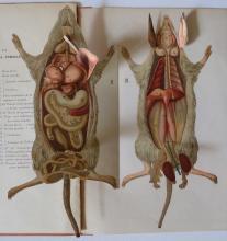 Rare Anatomy MOUSE - J. ANGLAS Multi-layered, Paris 1900's