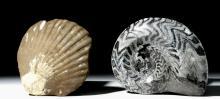 Fossilized Ammonite & Shell