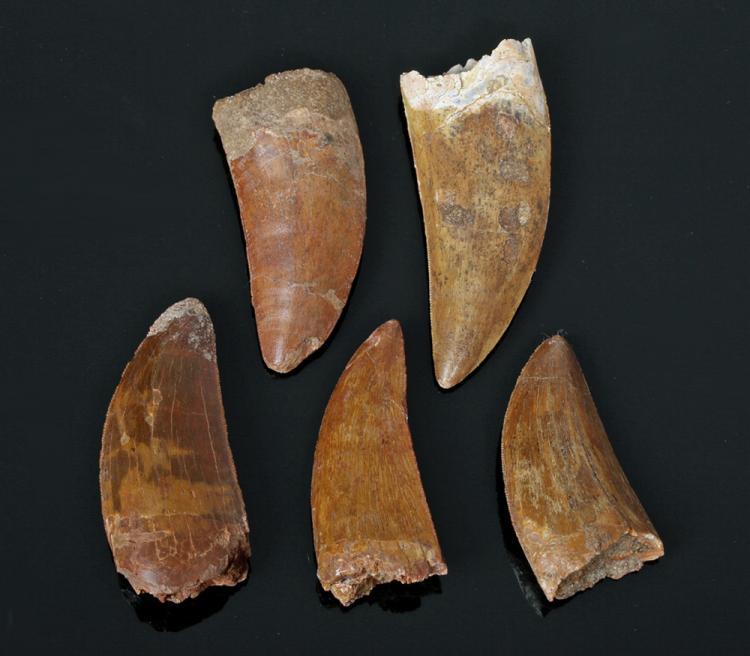 Lot of 5 Carcharodontosaurus Dinosaur Teeth