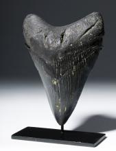 Large Black Megolodon Tooth