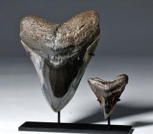 Two Gorgeous Polished Megalodon Teeth