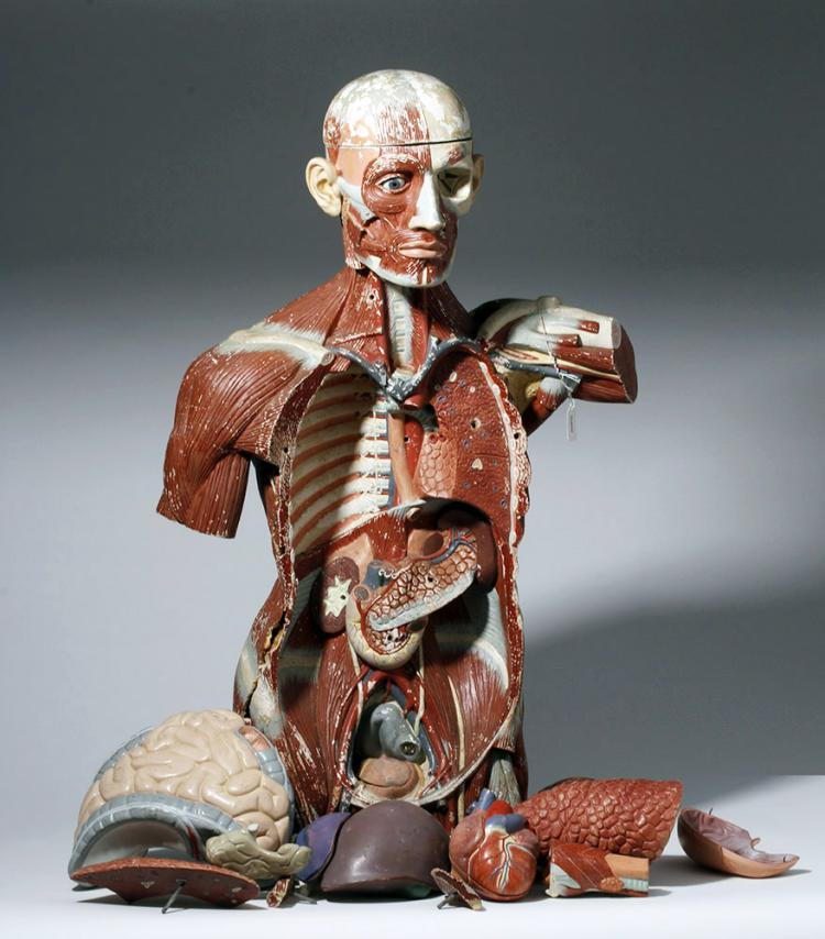 Lifesize 20th C. European Medical School Anatomy Model