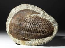 Huge Moroccan Lanceaspis Trilobite Fossil