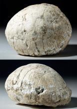 Pleistocene Fossilized Turtle Shell