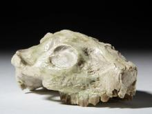 Fossilized Oreodont Upper Skull Section
