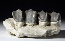 Two Fossil Brontotherium (Titanothere) Teeth in Jaw