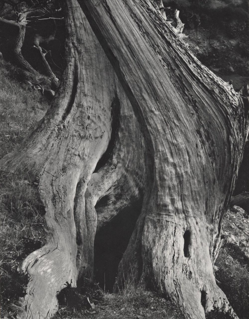 Edward Weston - Cypress, Point Lobos For Sale at 1stDibs