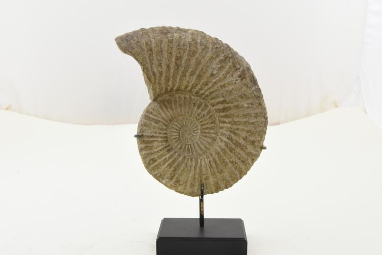 Ammonite with stand
