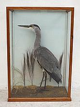 Taxidermy: a young heron, cased with a DoE tag,