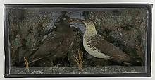 Taxidermy: two Arctic skuas in a glass case, 78 by