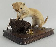 Taxidermy: a weasel, mounted on an oak base, 20 by